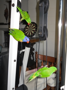Lorikeets in the Gym