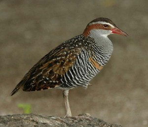 Buff-banded-Rail-1