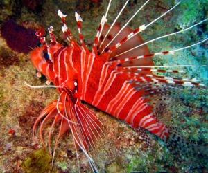 redlionfish