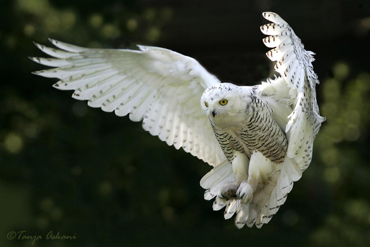 Snowy owl in flight at night - photo#10