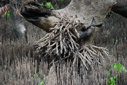 Pneumatophore_overkill_-_grey_mangrove