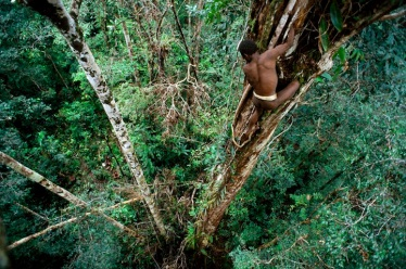 "Sowayen climbing down a ""yambim"" or ironwood tree after knocking loose a nest of black ants that he uses for fish bait. The Korowai are superb climbers, and get up thick trees like this by gripping vines with their hands and splayed toes. It took him about a minute to get up this tree, and it took Neeld Messler, a rope expert, over an hour to rig this tree with ropes so the photographer could climb it safely. In the lower left corner Sayah is watching. One of their fishing methods is to put a piece of an ant nest in the water and wait for the fish to come and eat the drowning ants. The fisherman hides behind foliage on the river bank, and shoots the fish with a four-pointed arrow. This picture was taken as part of an expedition for GEO Magazine and National Geographic Magazine to document the way of life of the Korowai tribe. Most of the Korowai in these photos had never had prior contact with anyone outside of their language group, and have no material goods from the outside world. They live in tree houses built above the forest floor to protect themselves from outsiders. The Korowai believe that contact with outsiders will bring an end to their culture. Cannibalism has been part of their traditional system of criminal justice to avenge the death of their clansmen, but the practice is dying out and is outlawed by the Indonesian government. The Korowai believe that most natural deaths are caused by sorcery, and must be avenged by the death (and consumption) of the person responsible."