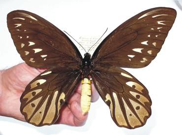 ornithoptera_alexandrae_f2