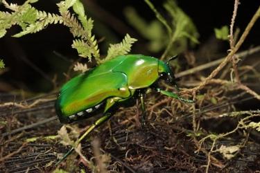 An-iridescent-Beetle-foun-006