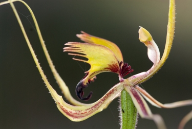 Series 1 of 2 Open. Forest Mantis Orchid (Caladenia attingens) Margaret River area, Western Australia