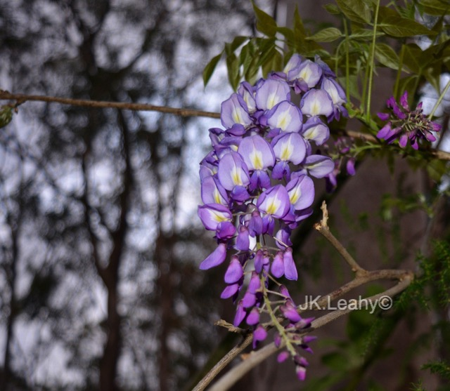 wisteria a flower of meaning and beauty  tribalmystic stories, Natural flower