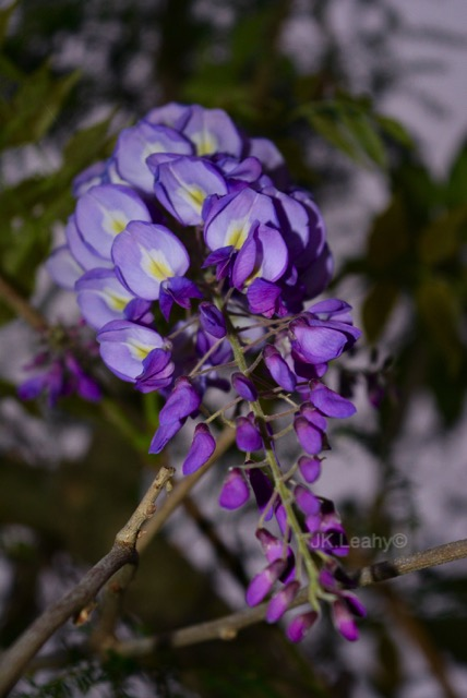 Wisteria A Flower Of Meaning And Beauty Tribalmystic