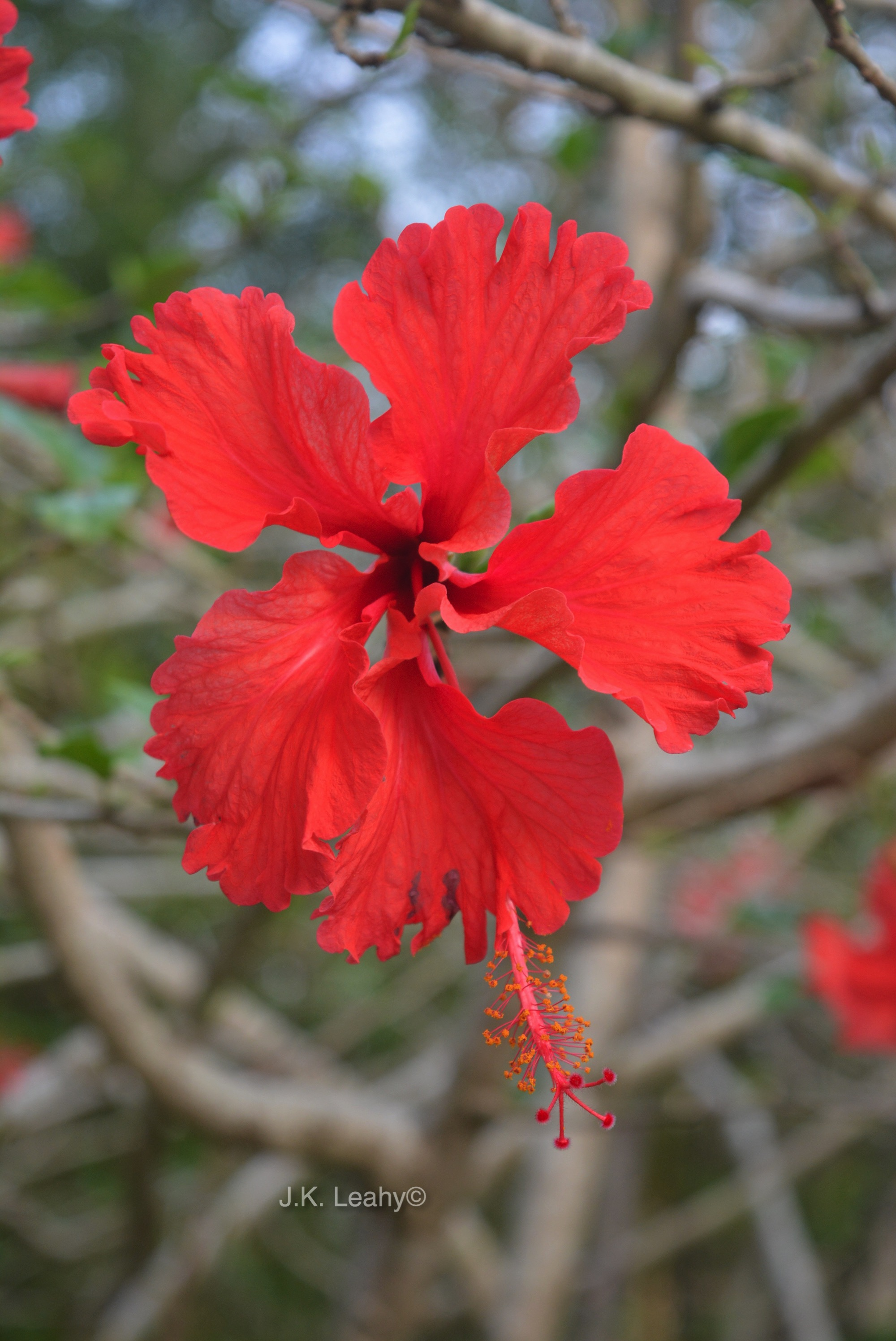 Hibiscus flowers tribalmystic stories the flower is slightly acidic and is made into tangy sweet jelly rosella jam is made from a type of hibiscus here is a recipe i found on food izmirmasajfo