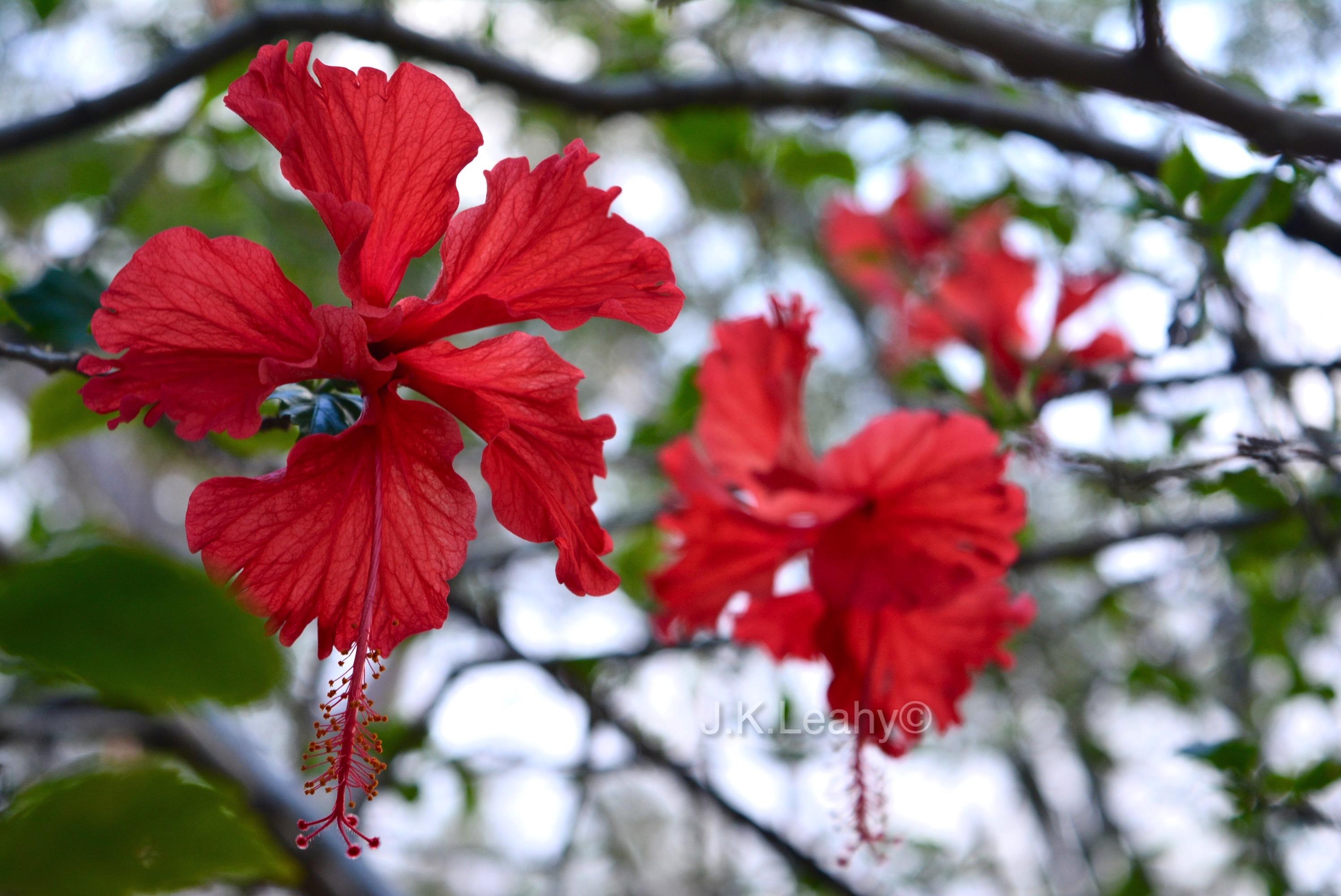 Hibiscus Flowers Tribalmystic Stories